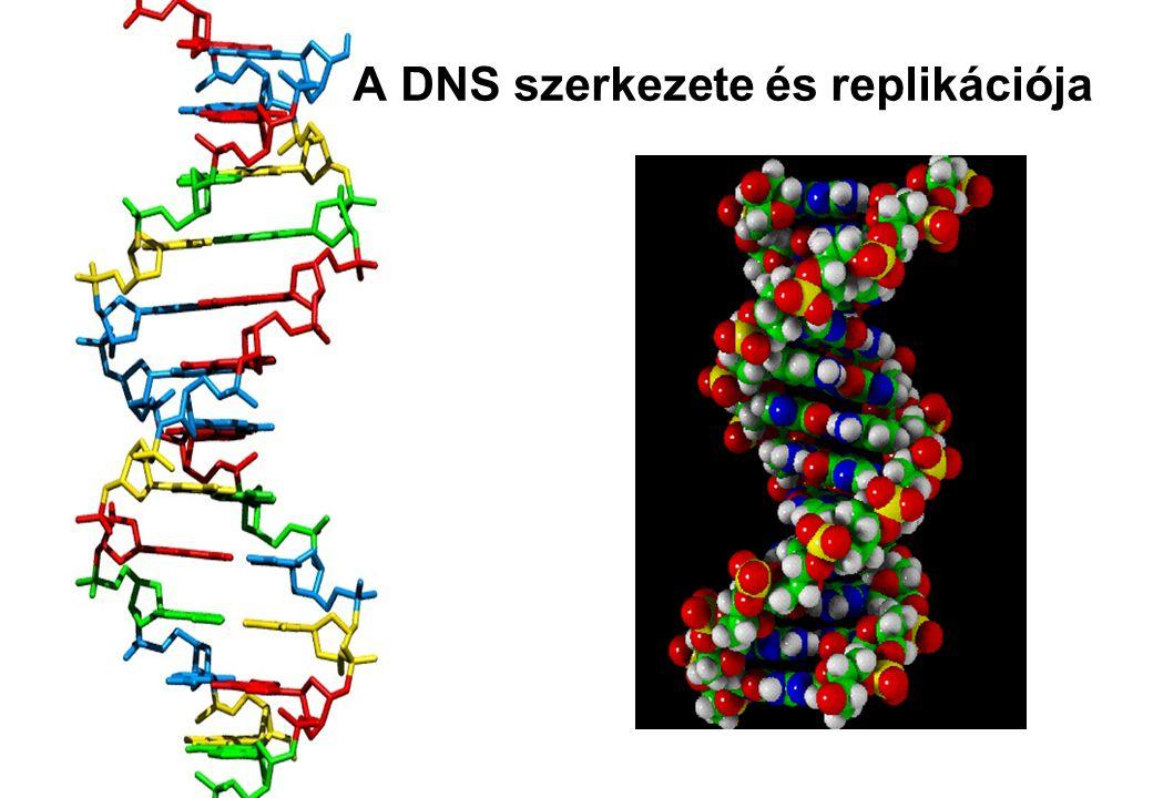 Nukleotid szerkezete 3' C atom – ezzel kapcsolódik a polinukleotid lánc következő nukleotidjának foszforsav részéhez N tartalmú, heterociklusos szerves bázis (adenin) Foszforsav rész (foszfát csoport) Cukor – aldopentóz (ribóz) 1' C atom (glikozidos OH csop.) – bázis kapcsolódási helye 5' C atom – a foszforsav rész kapcsolódási helye 2' C atom – ezen nincs O a DNS-ben