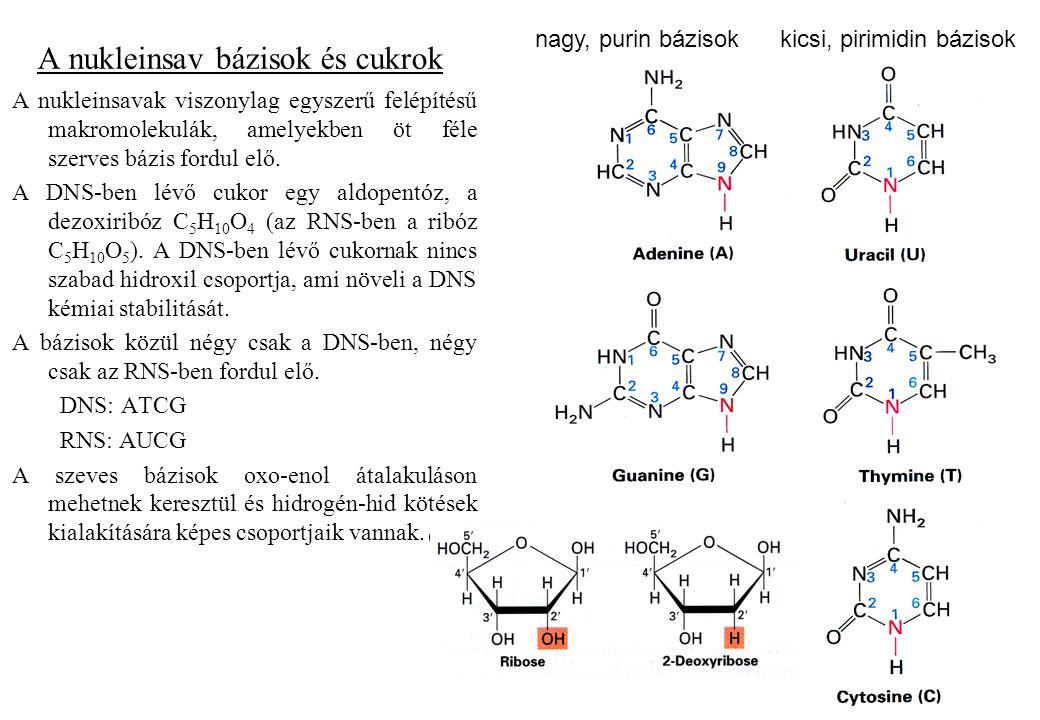 A nukleinsav bázisok és cukrok A nukleinsavak viszonylag egyszerű felépítésű makromolekulák, amelyekben öt féle szerves bázis fordul elő. A DNS-ben lé