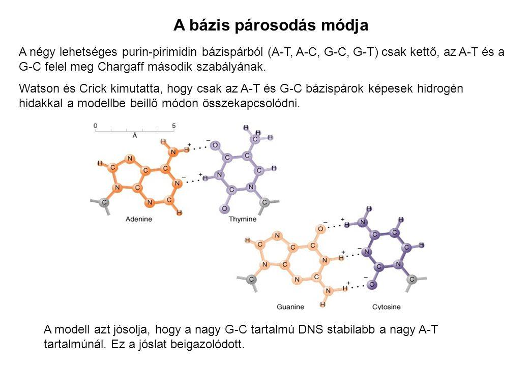 A bázis párosodás módja A négy lehetséges purin-pirimidin bázispárból (A-T, A-C, G-C, G-T) csak kettő, az A-T és a G-C felel meg Chargaff második szab