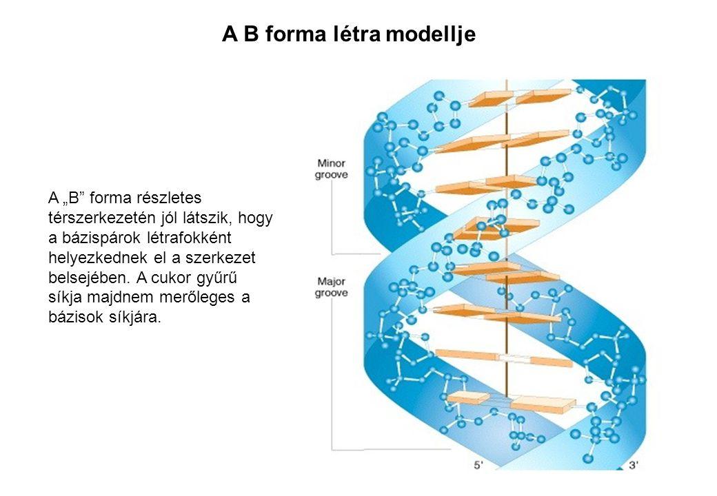 """A """"B"""" forma részletes térszerkezetén jól látszik, hogy a bázispárok létrafokként helyezkednek el a szerkezet belsejében. A cukor gyűrű síkja majdnem m"""