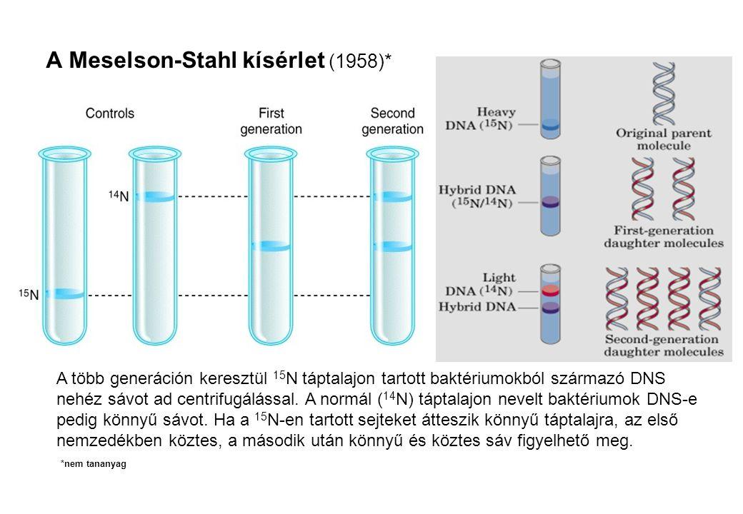 A Meselson-Stahl kísérlet (1958)* A több generáción keresztül 15 N táptalajon tartott baktériumokból származó DNS nehéz sávot ad centrifugálással. A n