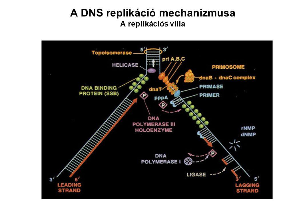 A DNS replikáció mechanizmusa A replikációs villa