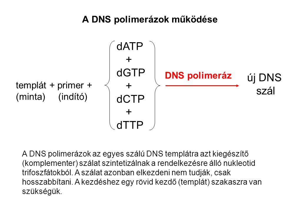 A DNS polimerázok működése A DNS polimerázok az egyes szálú DNS templátra azt kiegészítő (komplementer) szálat szintetizálnak a rendelkezésre álló nuk