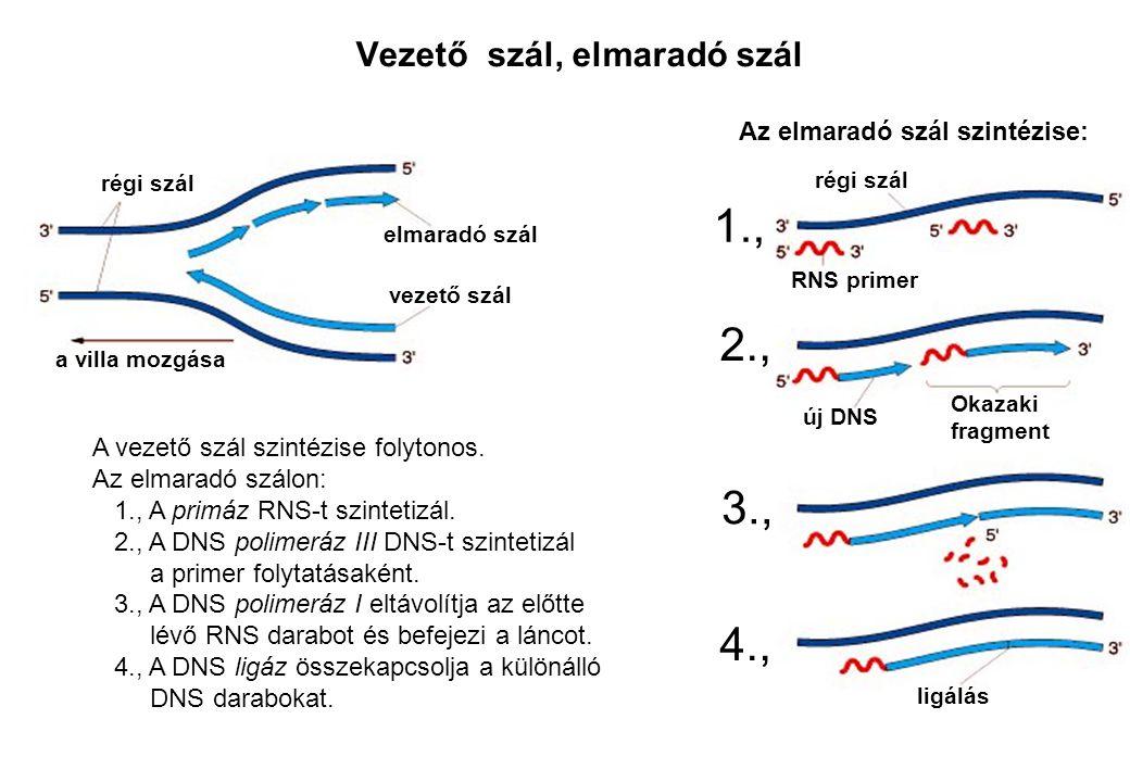 Vezető szál, elmaradó szál régi szál vezető szál elmaradó szál a villa mozgása Az elmaradó szál szintézise: régi szál RNS primer új DNS Okazaki fragme