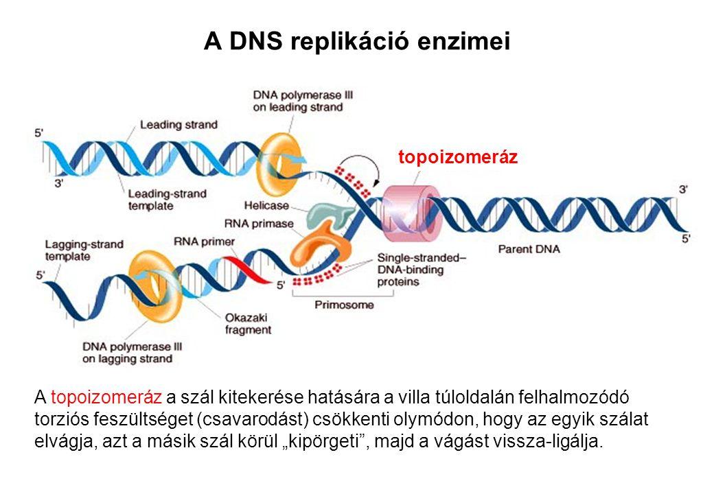 A DNS replikáció enzimei A topoizomeráz a szál kitekerése hatására a villa túloldalán felhalmozódó torziós feszültséget (csavarodást) csökkenti olymód