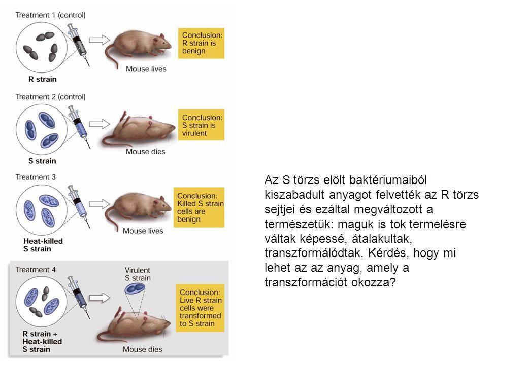Az S törzs elölt baktériumaiból kiszabadult anyagot felvették az R törzs sejtjei és ezáltal megváltozott a természetük: maguk is tok termelésre váltak