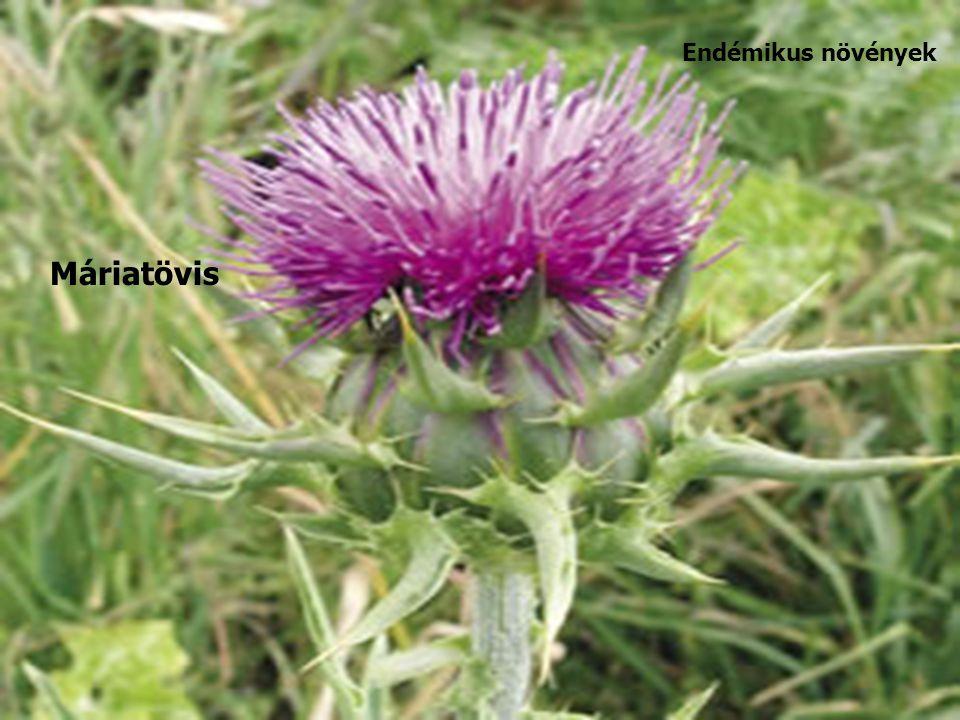 Máriatövis Endémikus növények