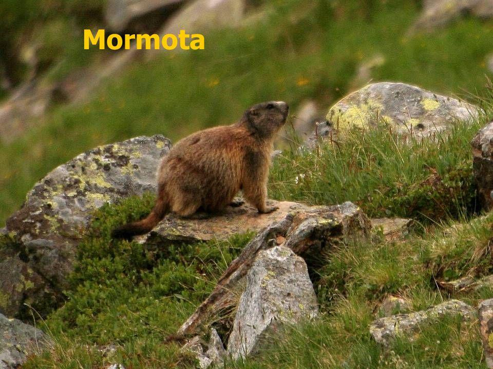 Mormota