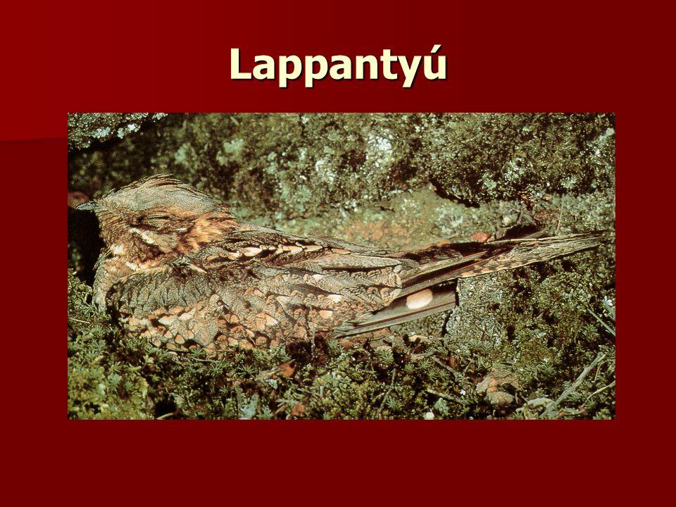 Lappantyú