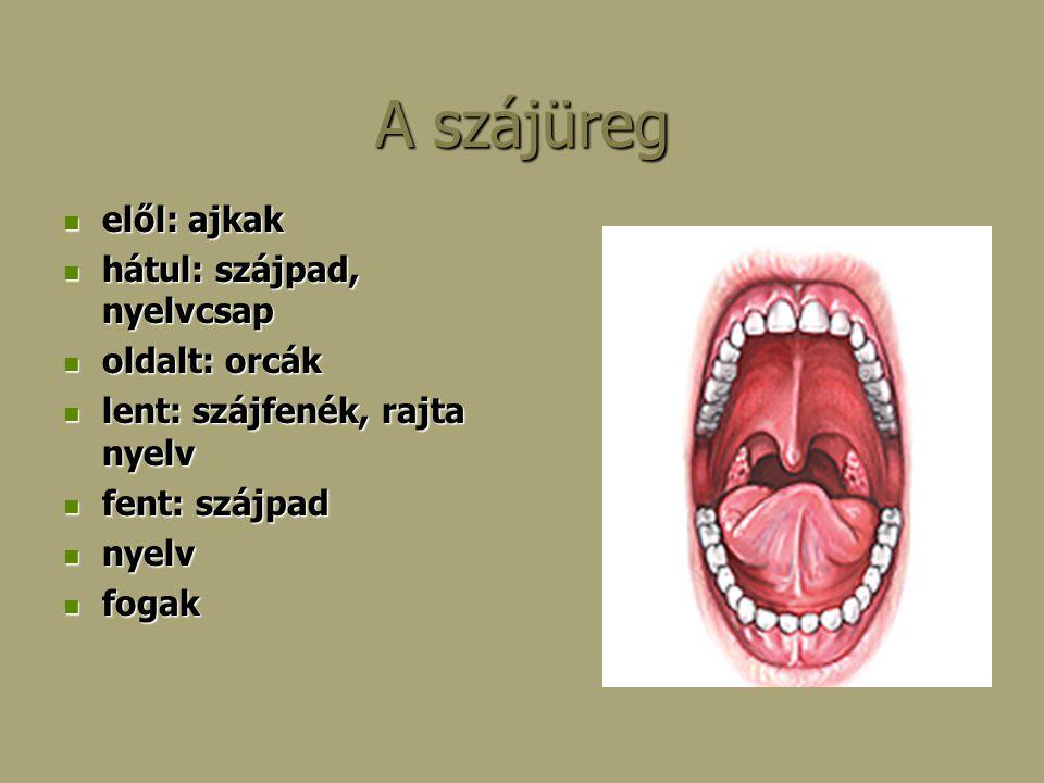 A szájüreg elől: ajkak elől: ajkak hátul: szájpad, nyelvcsap hátul: szájpad, nyelvcsap oldalt: orcák oldalt: orcák lent: szájfenék, rajta nyelv lent: szájfenék, rajta nyelv fent: szájpad fent: szájpad nyelv nyelv fogak fogak