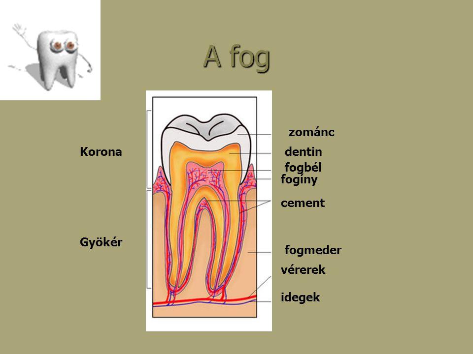 A fog zománc dentin fogbél cement fogíny vérerek idegek fogmeder Gyökér Korona