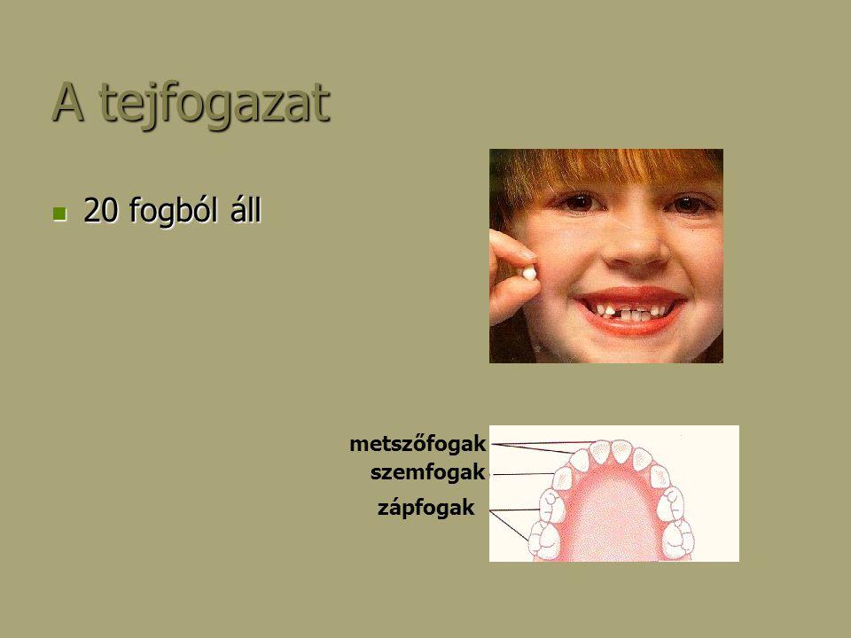 Végleges fogazat 32 fogból áll 32 fogból áll Képlete: Képlete: 2/2M; 1/1Sz; 2/2EZ; 3/3UZ szemfog utózápfogak előzápfogak metszőfogak