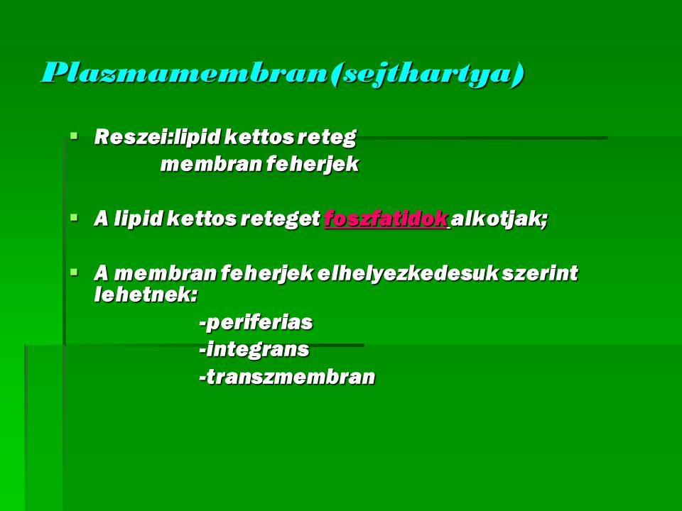 Funkcio:  Elvalasztja a kulso kornyezetet a belsotol;  Anyagfelvetel v.leadas=transzportfolyamat;  Transzport:passziv-nem igenyel E aktiv-E igenyes aktiv-E igenyes  Diffuzioval a mb lipid retegen csupan viz es kisebb meretu reszecske juthat at;  A mb.