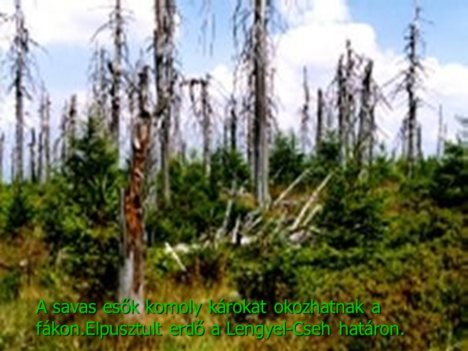 A savas esők komoly károkat okozhatnak a fákon.Elpusztult erdő a Lengyel-Cseh határon.