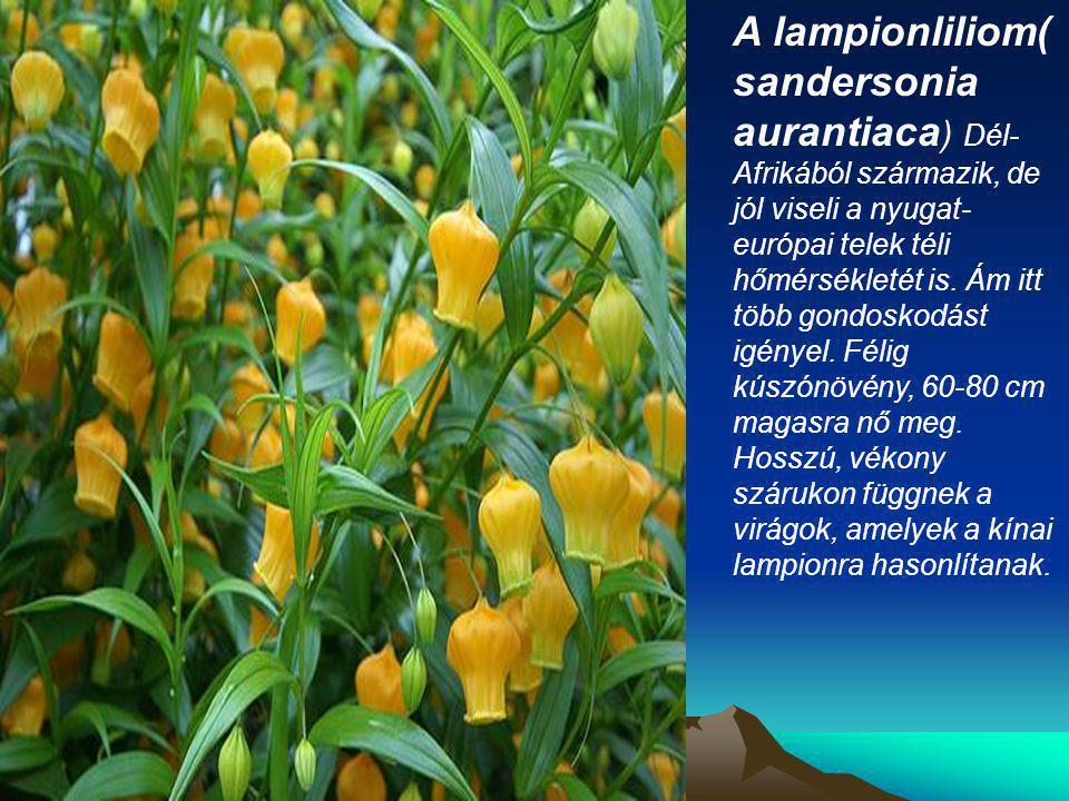 A lampionliliom( sandersonia aurantiaca ) Dél- Afrikából származik, de jól viseli a nyugat- európai telek téli hőmérsékletét is. Ám itt több gondoskod