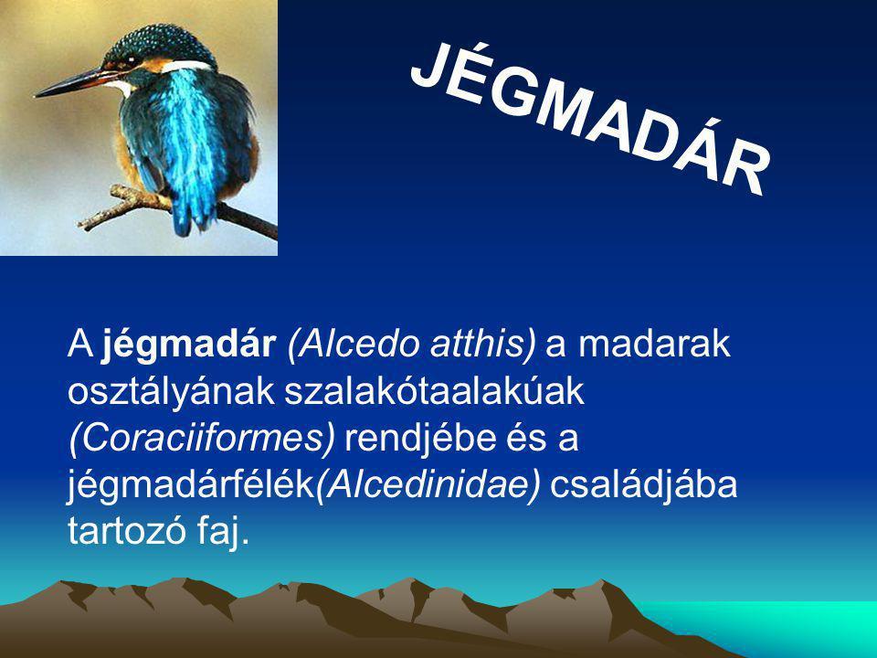 JÉGMADÁR A jégmadár (Alcedo atthis) a madarak osztályának szalakótaalakúak (Coraciiformes) rendjébe és a jégmadárfélék(Alcedinidae) családjába tartozó