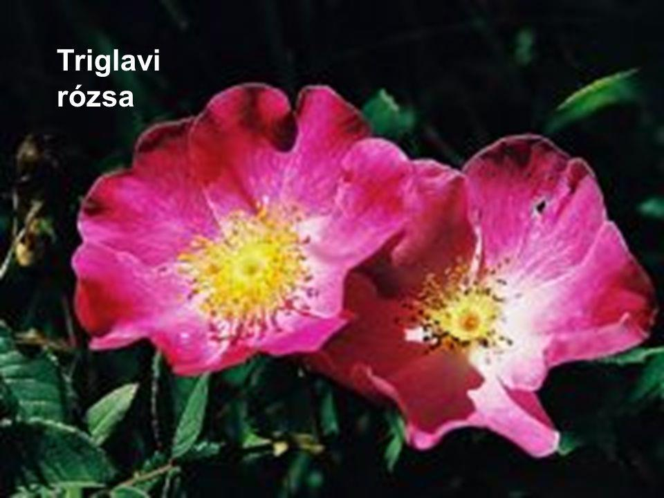 Triglavi rózsa