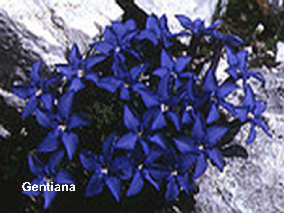 Gentiana