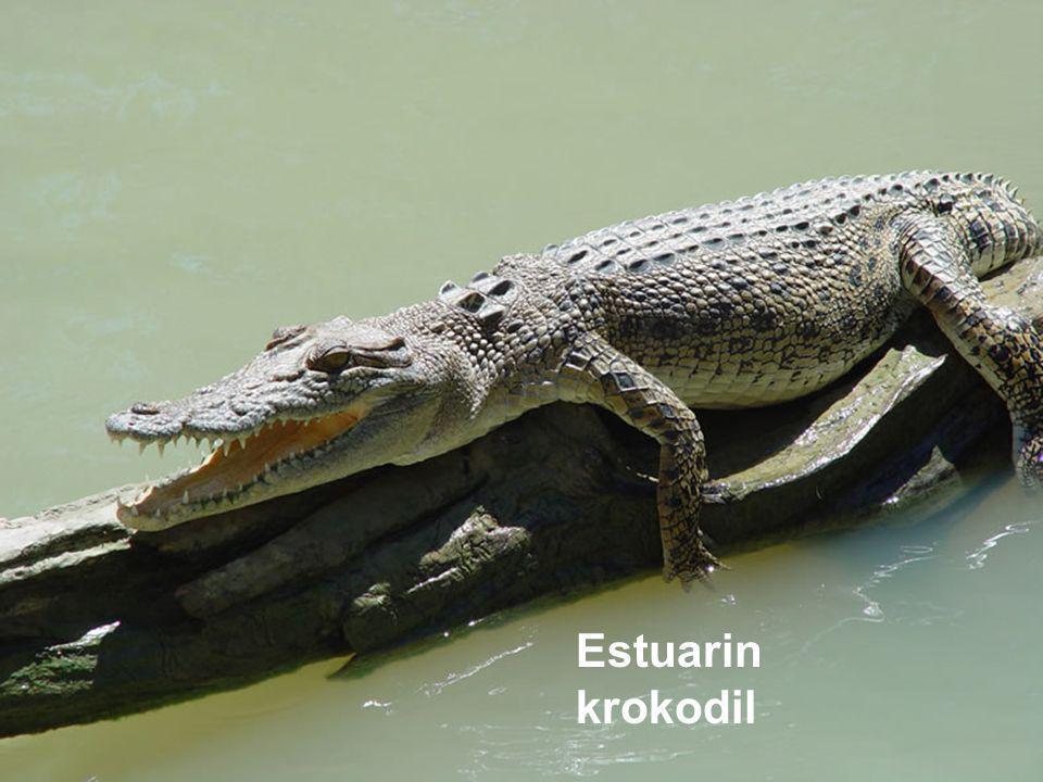 Estuarin krokodil