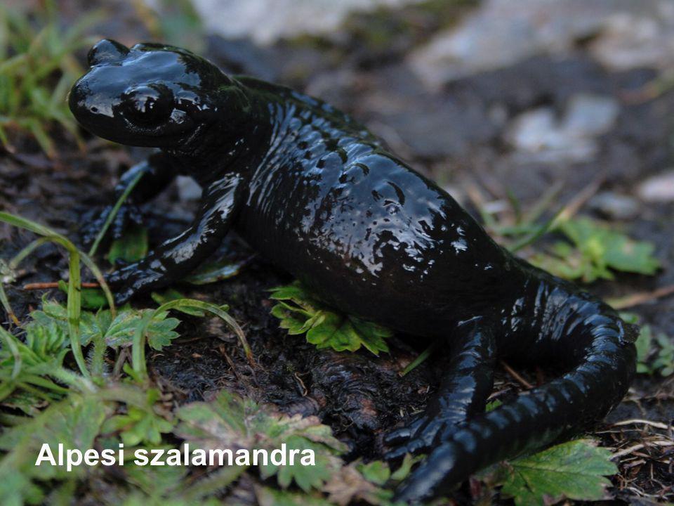 Alpesi szalamandra