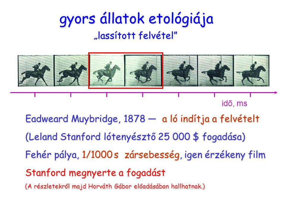 """ügető ló gyors állatok etológiája """"lassított felvétel Eadweard Muybridge, 1878 — a ló indítja a felvételt (Leland Stanford lótenyésztő 25 000 $ fogadása) Fehér pálya, 1/1000 s zársebesség, igen érzékeny film idő, ms Stanford megnyerte a fogadást (A részletekről majd Horváth Gábor előadásában hallhatnak.)"""