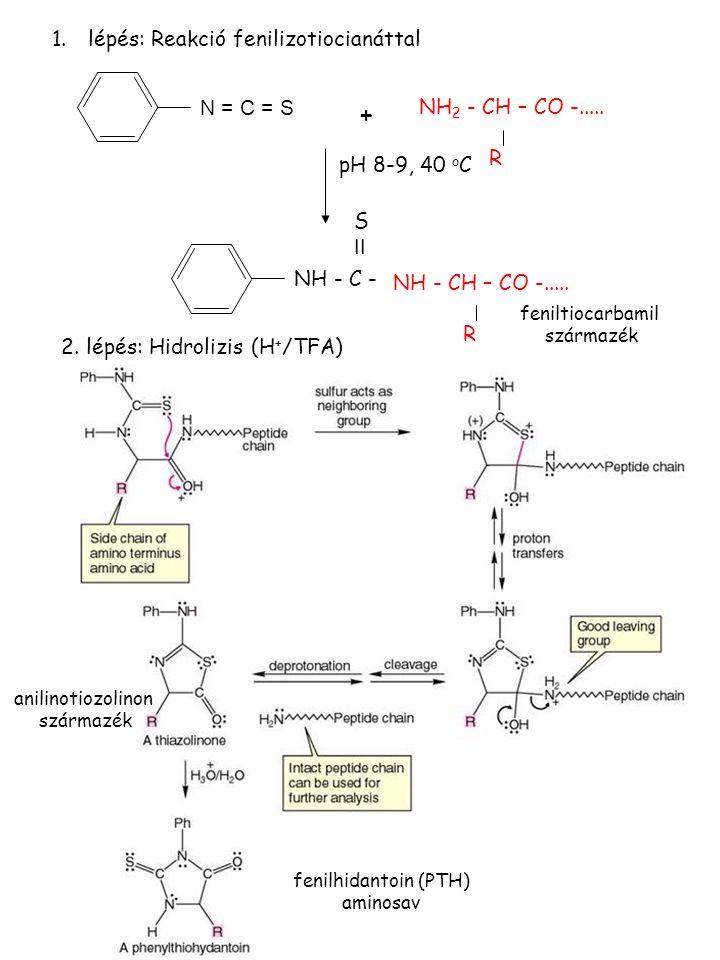 N = C = S NH 2 - CH – CO -..... R pH 8-9, 40 o C NH - C - S II NH - CH – CO -..... R + 1.lépés: Reakció fenilizotiocianáttal 2. lépés: Hidrolizis (H +