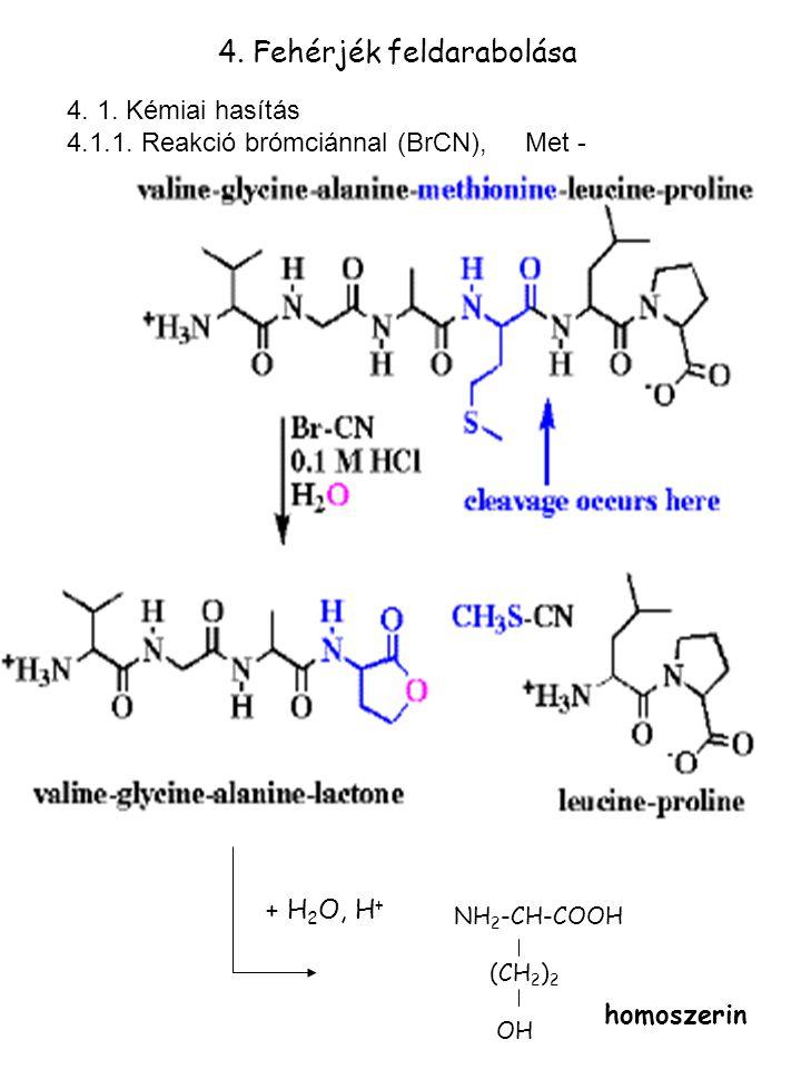 4. Fehérjék feldarabolása 4. 1. Kémiai hasítás 4.1.1. Reakció brómciánnal (BrCN), Met - NH 2 -CH-COOH (CH 2 ) 2 OH + H 2 O, H + homoszerin