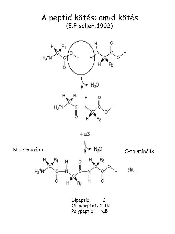 N-terminális C-terminális Dipeptid: 2 Oligopeptid : 2-15 Polypeptid: >15 A peptid kötés: amid kötés (E.Fischer, 1902)