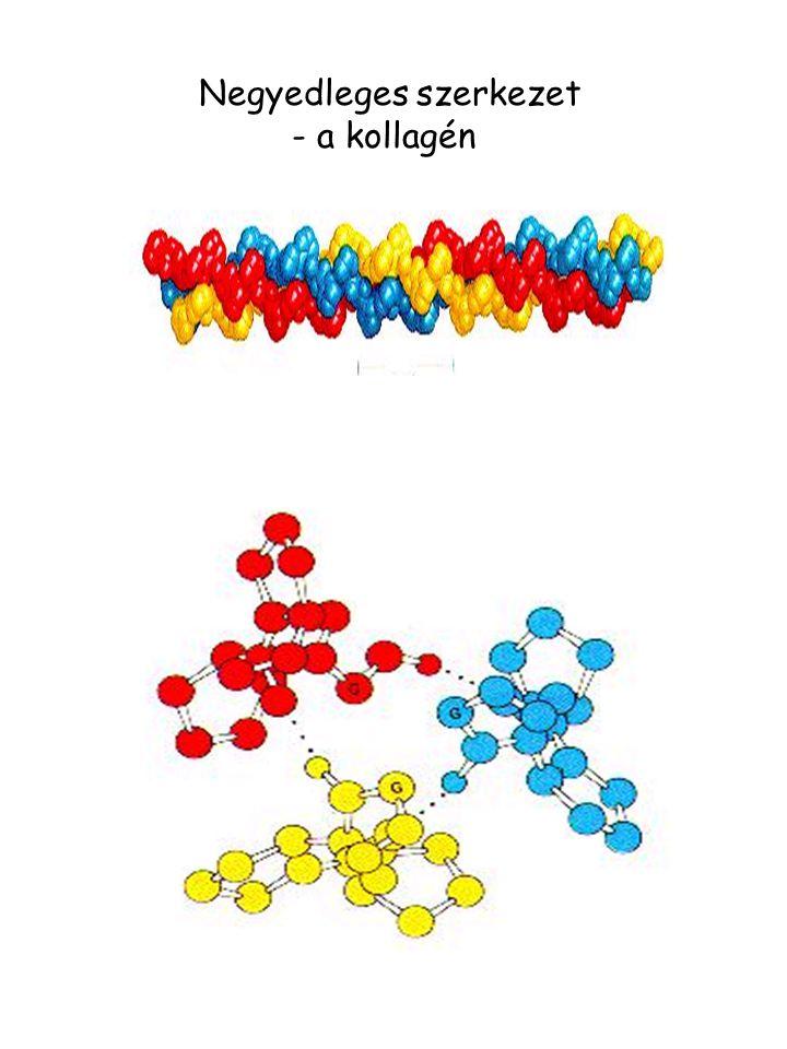 Negyedleges szerkezet - a kollagén