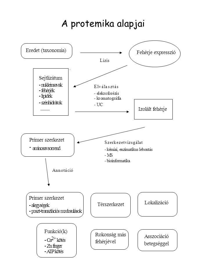 1. Fehérje-expresszió Fehérje expresszió Lizis Sejtlizátum - nukleinsavak - fehérjék - lipidek - szénhidrátok........ Elválasztás - elekroforézis - kr