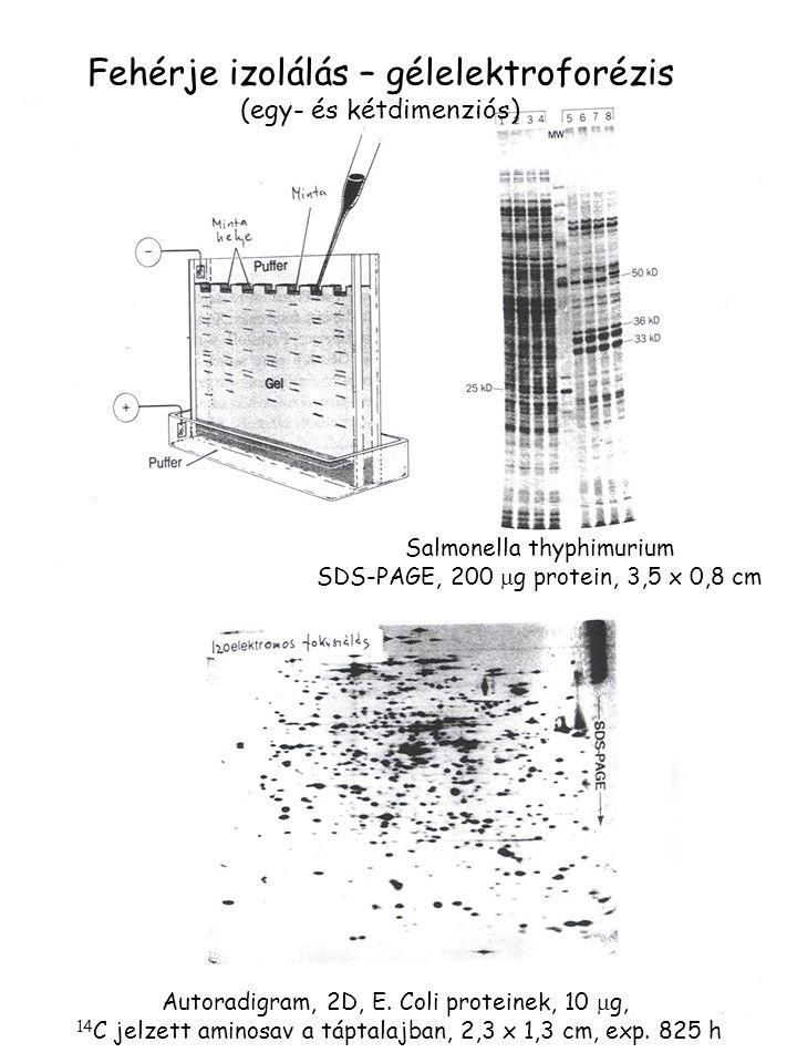 Fehérje izolálás – gélelektroforézis (egy- és kétdimenziós) Salmonella thyphimurium SDS-PAGE, 200  g protein, 3,5 x 0,8 cm Autoradigram, 2D, E. Coli