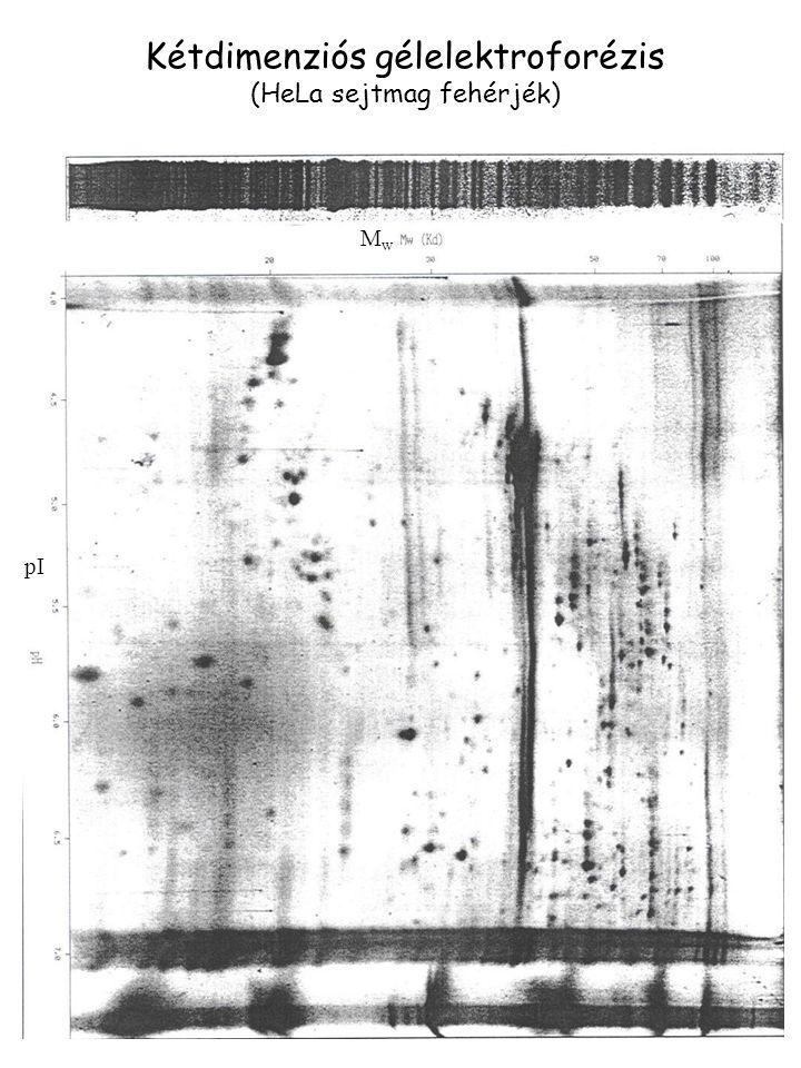 MwMw pI Kétdimenziós gélelektroforézis (HeLa sejtmag fehérjék)