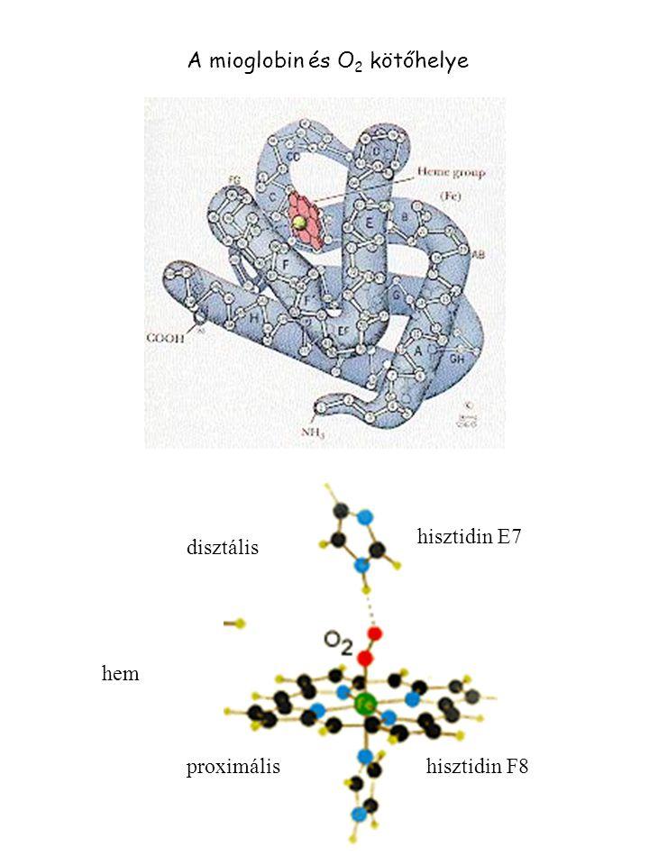 Mioglobin, hemoglobin összegzés vázfémio n prosztetikus csoport proteinfunkció Proto- porfirin Fe 2+ hemferrohemoglobin (hemoglobin) O 2 kötés Fe 3+ heminferrihemoglobin (hemiglobin) H2OH2O Fe 2+ hemoximioglobinO 2 kötés Fe 3+ heminferrimioglobinH2OH2O Fe 2+ hemdezoximioglobin humán hemoglobin F1F2F3F4F5F6F7F8F9  lánc LeuSerAlaLeuSerAspLeuHisAla  lánc PheAlaThrLeuSerGluLeuHisCys ámbráscet mioglobin LeuLysProLeuAlaGlnSerHisAla