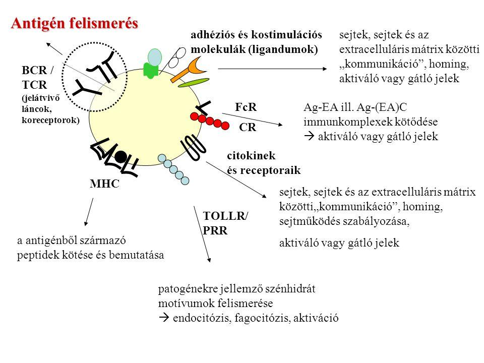"""Antigén felismerés BCR / TCR (jelátvivő láncok, koreceptorok) MHC a antigénből származó peptidek kötése és bemutatása adhéziós és kostimulációs molekulák (ligandumok) sejtek, sejtek és az extracelluláris mátrix közötti """"kommunikáció , homing, aktiváló vagy gátló jelek FcR CR Ag-EA ill."""