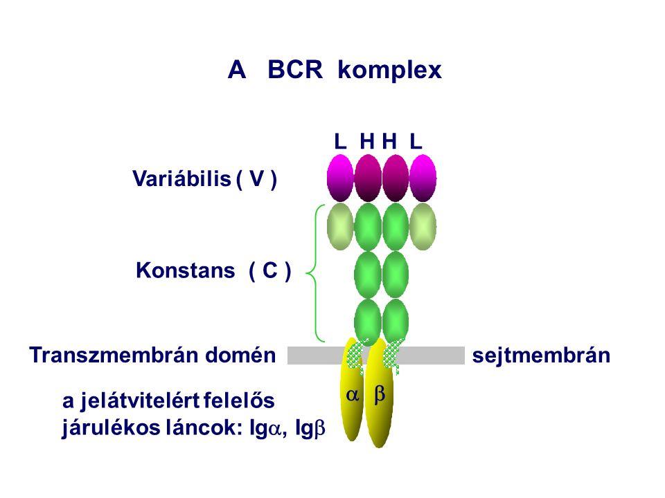  A BCR komplex L H H L Variábilis ( V ) Konstans ( C ) sejtmembrán a jelátvitelért felelős járulékos láncok: Ig , Ig  Transzmembrán domén