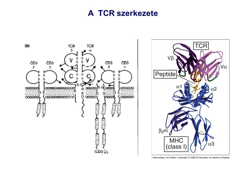A TCR szerkezete