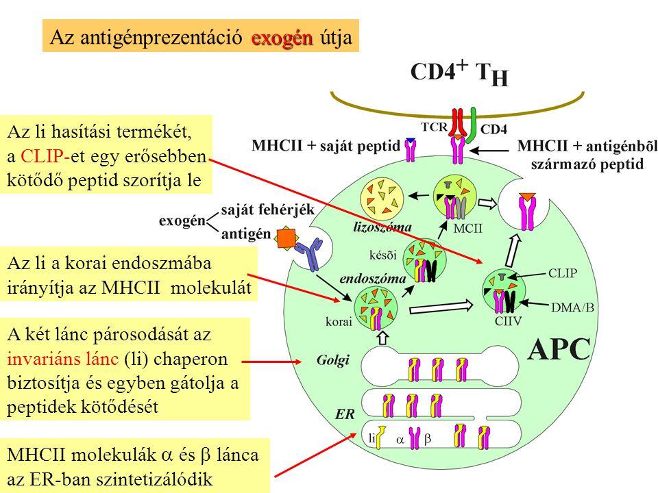 exogén Az antigénprezentáció exogén útja MHCII molekulák  és  lánca az ER-ban szintetizálódik A két lánc párosodását az invariáns lánc (li) chaperon biztosítja és egyben gátolja a peptidek kötődését Az li a korai endoszmába irányítja az MHCII molekulát Az li hasítási termékét, a CLIP-et egy erősebben kötődő peptid szorítja le