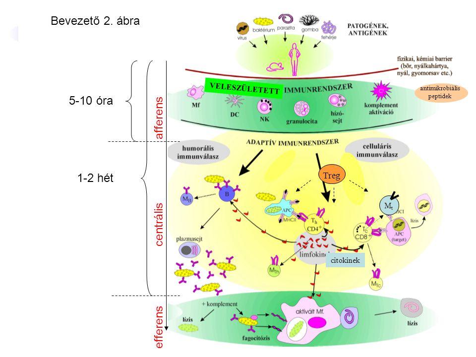 antimikrobiális peptidek MtMt veleszületett VELESZÜLETETT citokinek Treg 5-10 óra 1-2 hét Bevezető 2. ábra efferens centrális afferens