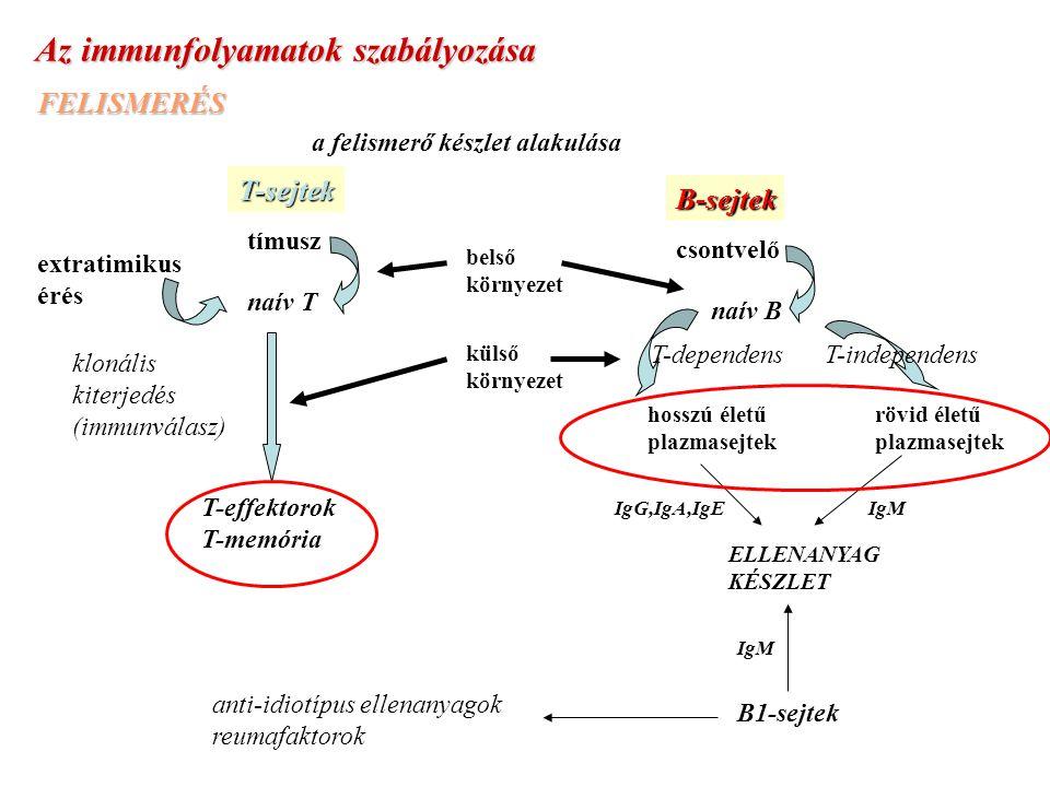 Az immunfolyamatok szabályozása FELISMERÉS a felismerő készlet alakulásaB-sejtek csontvelő naív B T-sejtek tímusz extratimikus érés belső környezet naív T ELLENANYAG KÉSZLET IgMIgG,IgA,IgE T-dependens rövid életű plazmasejtek hosszú életű plazmasejtek külső környezet klonális kiterjedés (immunválasz) T-effektorok T-memória B1-sejtek IgM anti-idiotípus ellenanyagok reumafaktorok T-independens