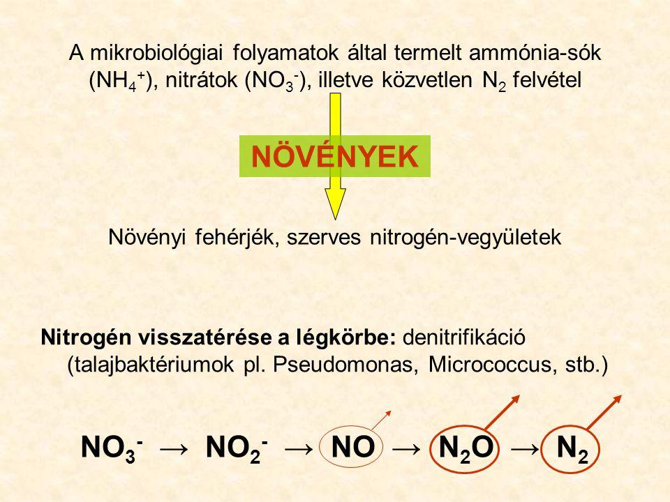 A denitrifikáció biztosítja a légkör állandó nitrogéntartalmát A légkör és a felszín közötti évi N 2 forgalom 240 Tg N/év (240 Mt N/év, 240∙10 12 g N/év) Emberi beavatkozás az N 2 forgalomba: - pillangósvirágúak (pl.