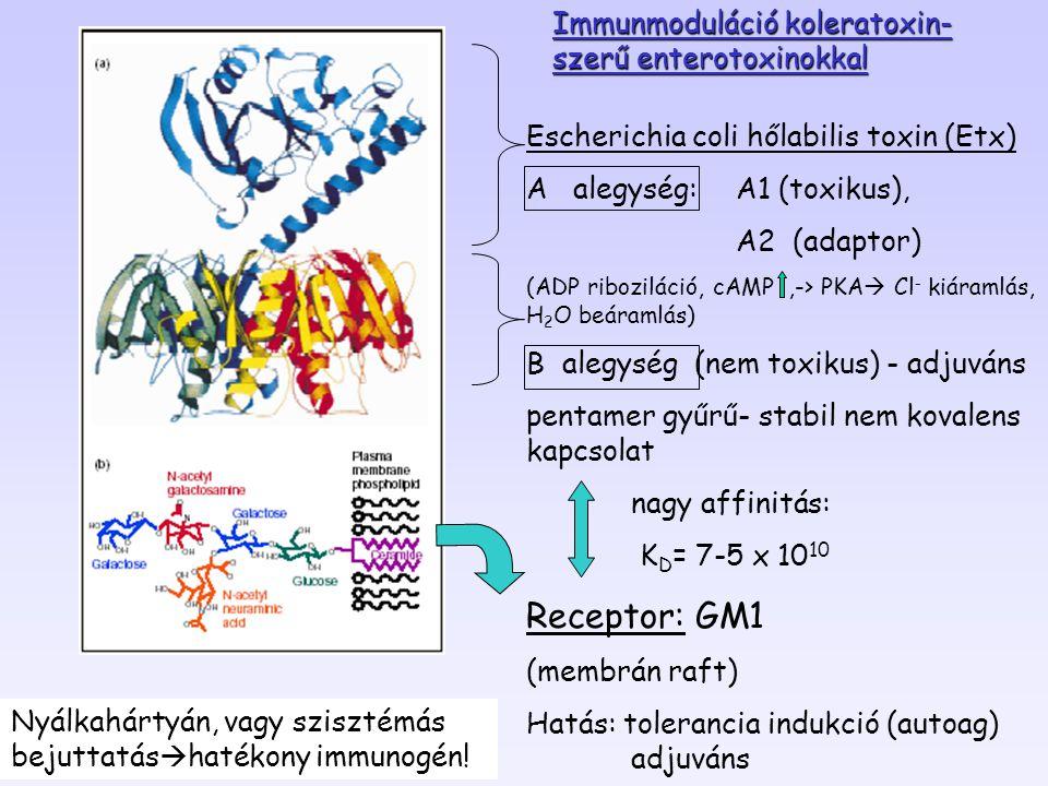 Escherichia coli hőlabilis toxin (Etx) A alegység: A1 (toxikus), A2 (adaptor) (ADP riboziláció, cAMP,-> PKA  Cl - kiáramlás, H 2 O beáramlás) B alegy