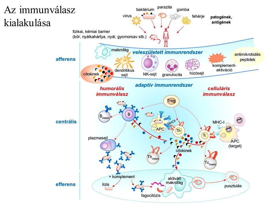 Az immunválasz kialakulása