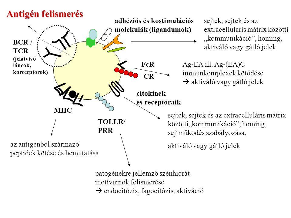 """Antigén felismerés BCR / TCR (jelátvivő láncok, koreceptorok) MHC az antigénből származó peptidek kötése és bemutatása adhéziós és kostimulációs molekulák (ligandumok) sejtek, sejtek és az extracelluláris mátrix közötti """"kommunikáció , homing, aktiváló vagy gátló jelek FcR CR Ag-EA ill."""
