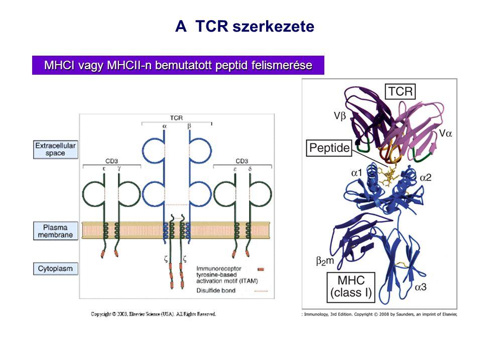 A TCR szerkezete MHCI vagy MHCII-n bemutatott peptid felismerése
