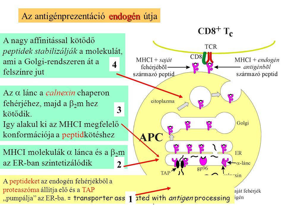 A nagy affinitással kötődő peptidek stabilizálják a molekulát, ami a Golgi-rendszeren át a felszínre jut endogén Az antigénprezentáció endogén útja MHCI molekulák  lánca és a  2 m az ER-ban szintetizálódik Az  lánc a calnexin chaperon fehérjéhez, majd a  2 m hez kötődik.