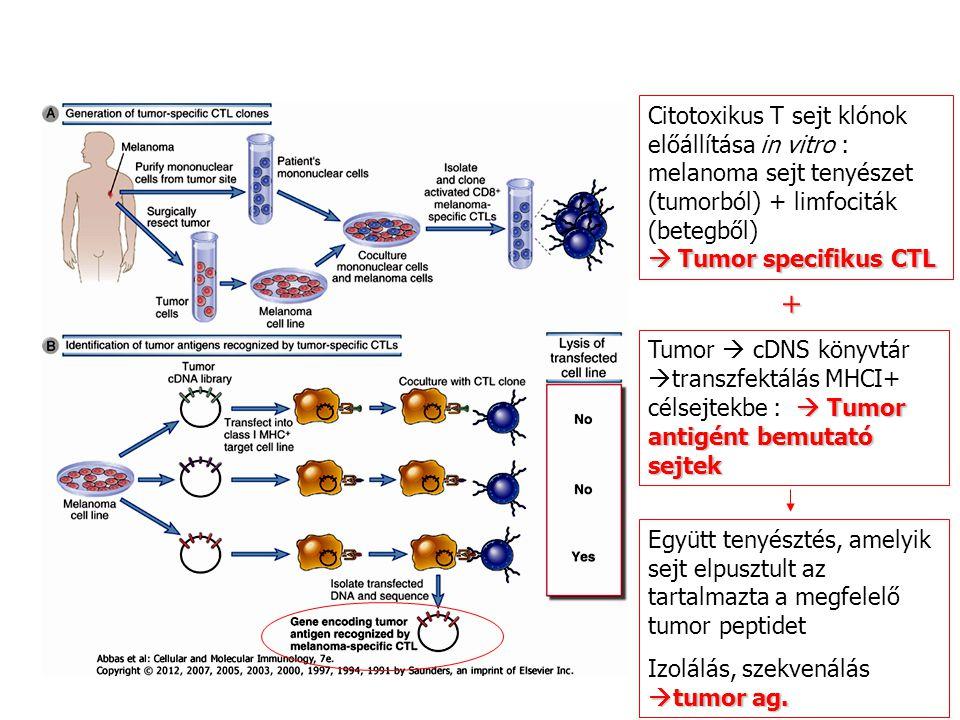 Citotoxikus T sejt klónok előállítása in vitro : melanoma sejt tenyészet (tumorból) + limfociták (betegből)  Tumor specifikus CTL  Tumor antigént be