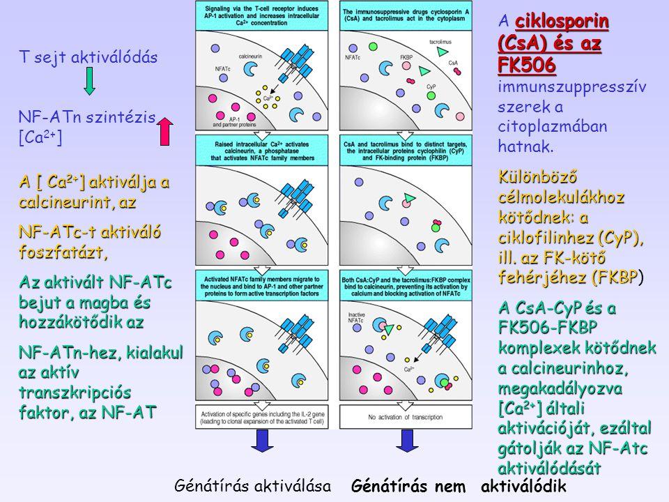 Génátírás nem aktiválódik Génátírás aktiválása Génátírás nem aktiválódik T sejt aktiválódás NF-ATn szintézis, [Ca 2+ ] A [ Ca 2+ ] aktiválja a calcineurint, az NF-ATc-t aktiváló foszfatázt, Az aktivált NF-ATc bejut a magba és hozzákötődik az NF-ATn-hez, kialakul az aktív transzkripciós faktor, az NF-AT ciklosporin (CsA) és az FK506 A ciklosporin (CsA) és az FK506 immunszuppresszív szerek a citoplazmában hatnak.
