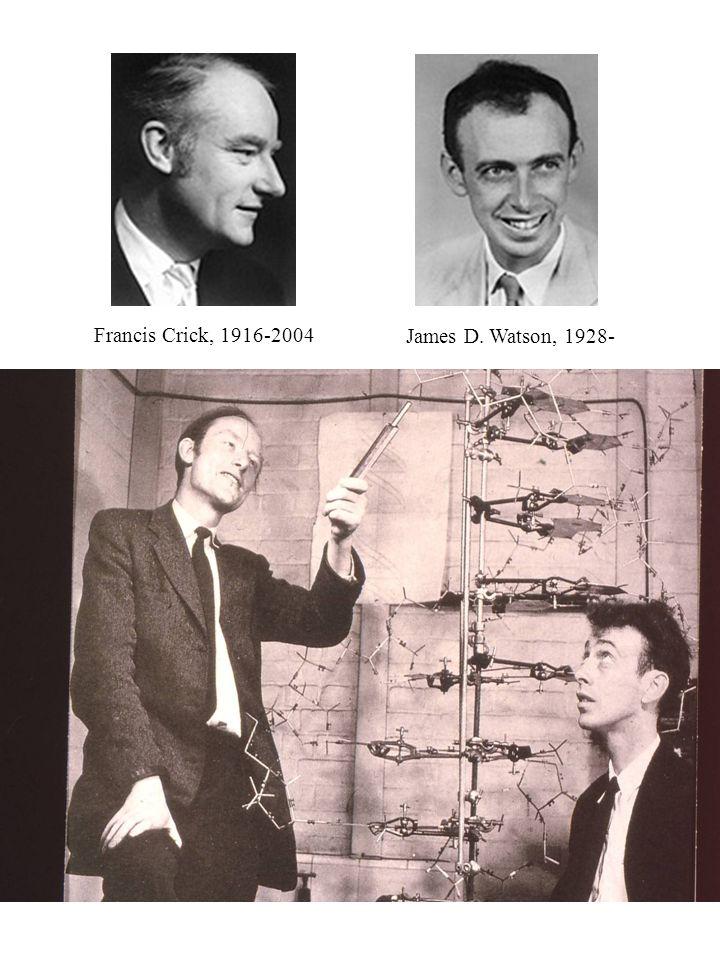 Watson, 1928Crick, 1916 Francis Crick, 1916-2004 James D. Watson, 1928-