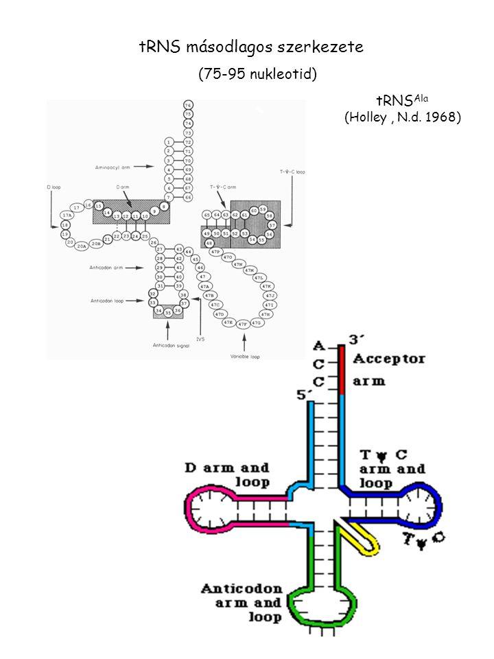 tRNS másodlagos szerkezete tRNS Ala (Holley, N.d. 1968) (75-95 nukleotid)