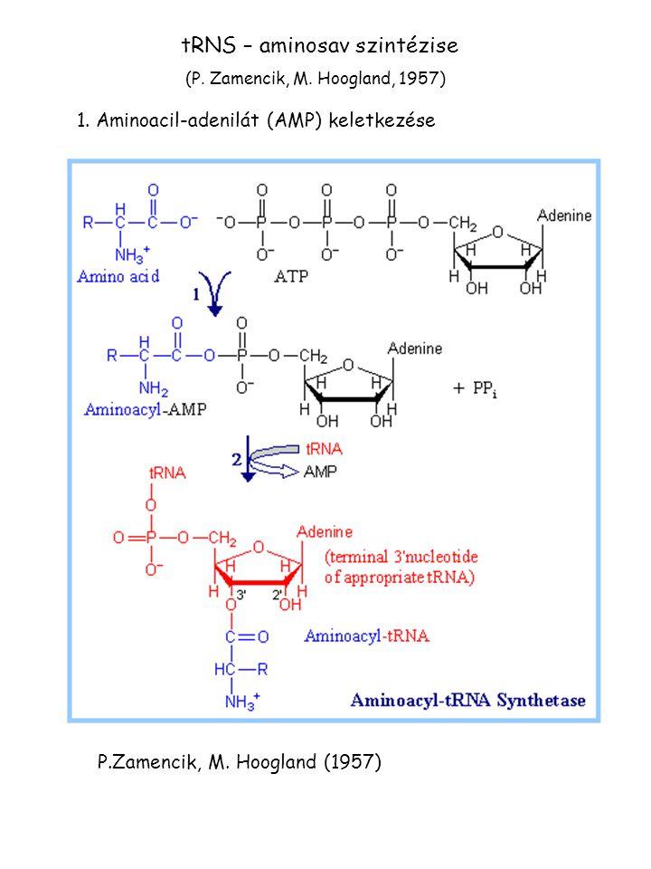 tRNS – aminosav szintézise 1. Aminoacil-adenilát (AMP) keletkezése P.Zamencik, M. Hoogland (1957) (P. Zamencik, M. Hoogland, 1957)
